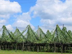 Kiwi vines near Tauranga