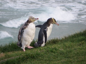 Yellow-eyed penguins out for a stroll