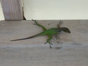 Lizard or gecko?