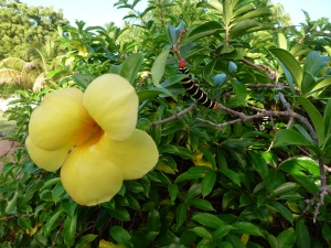 Allamanda and unknown caterpillar
