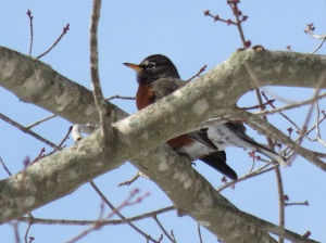 A robin...wondering where spring is