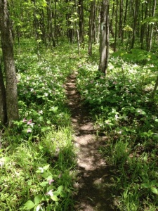 Thousands of trilliums
