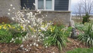 Shivering magnolia